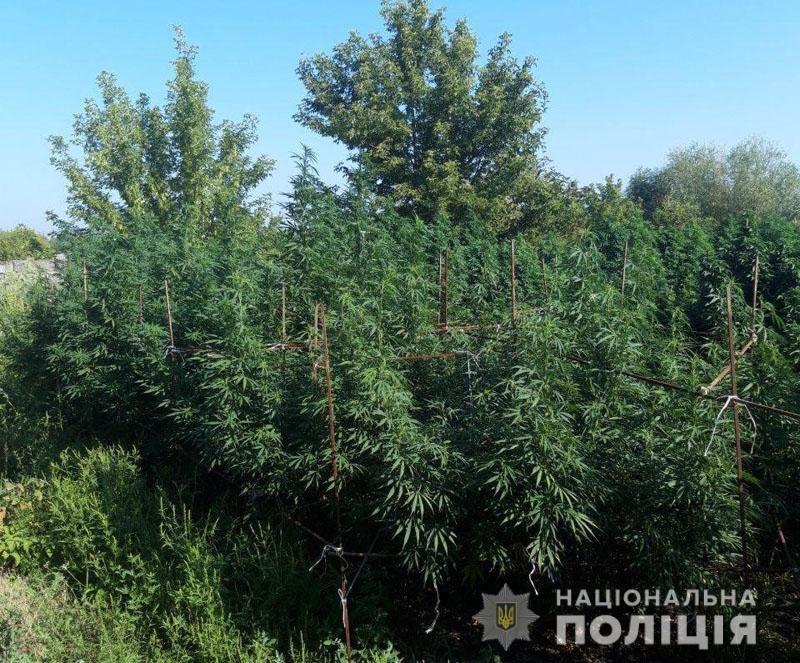 У Костянтинівці ліквідували 2-метрову плантацію конопель, фото-1