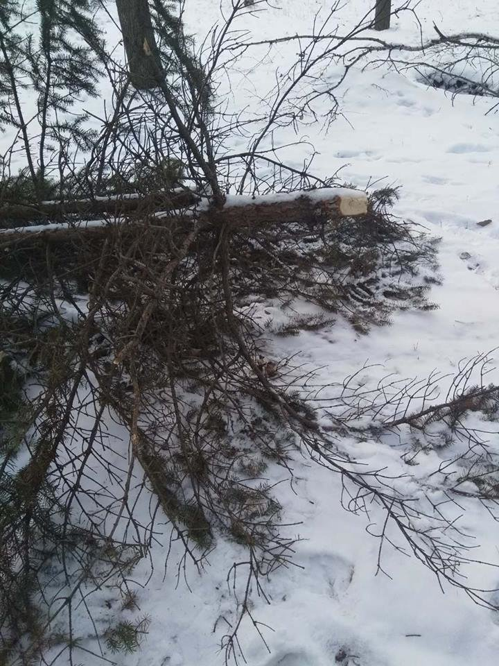 "В Константиновском парке ""Металлург"" вандалы спилили елку (фотофакт), фото-2"