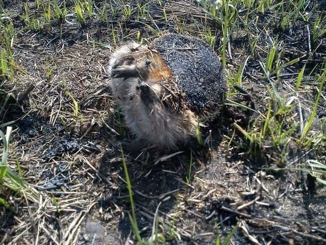Жертвами пожаров в экосистеме становятся спящие животные. Почему нельзя палить сухую траву, фото-3