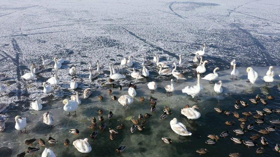 Лебеді-шипуни зимують на Клебан-Бицькому водосховищі, фото-1